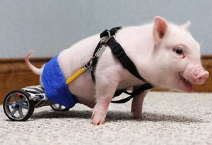 Chris P. Bacon, #Pig on Wheels: This little piggy was given up by his owner because she couldn't take care of him, since he was born without the use of his hind legs. But he was adopted by Florida veterinarian Dr. Len Lucero, who fashioned him a wheelchair out of K'nex toys. Now a month old, Chris is scooting around like nobody's business — and Lucero continues to make adjustments to the contraption as Chris grows.