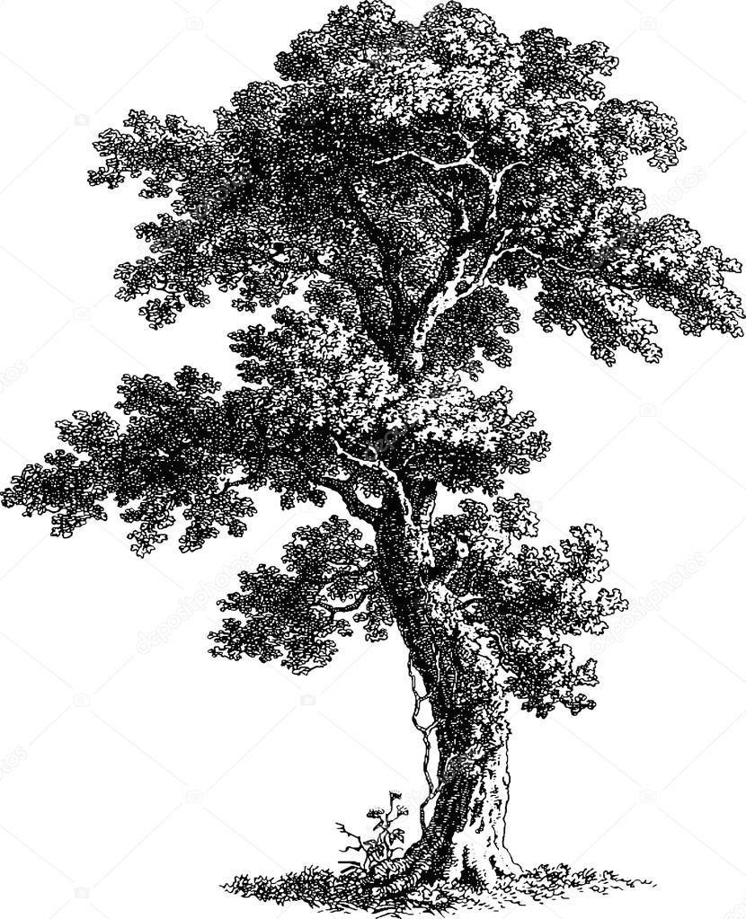 Arbol De Dibujo Vintage Imagen De Stock 112186814 1000 In 2020 Tree Drawing Landscape Sketch Bonsai Tree Tattoos