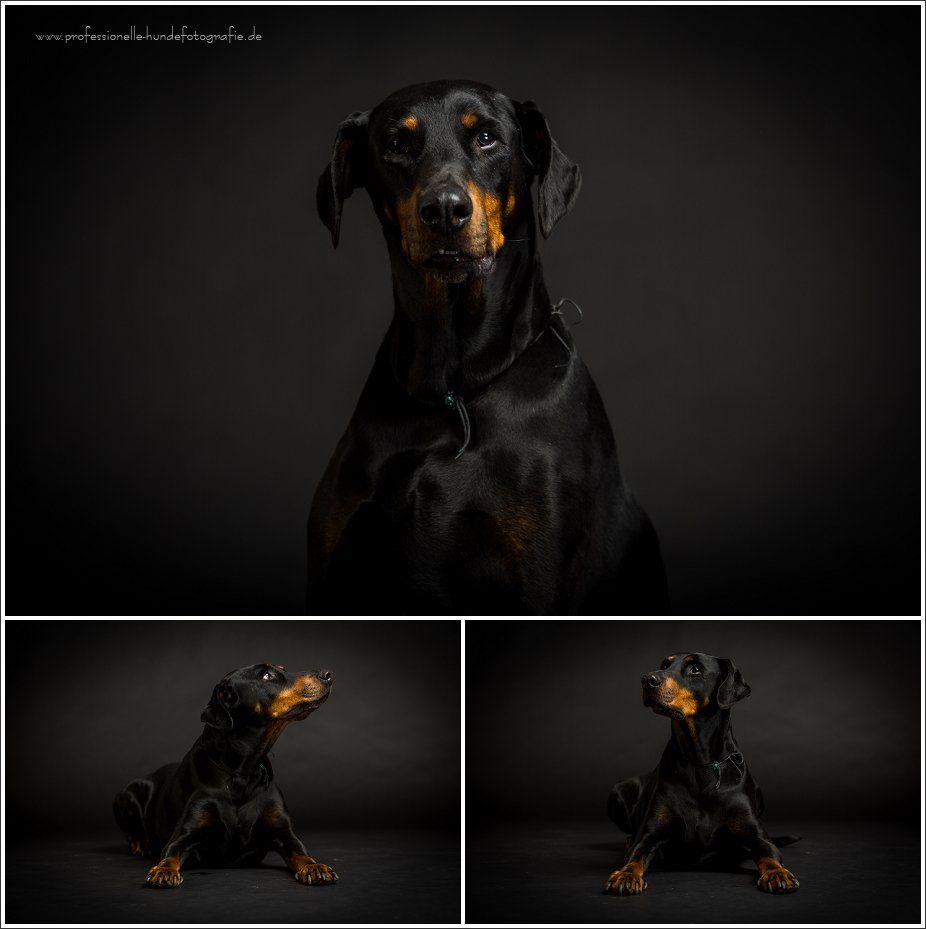 Hunde kunstvoll in Szene gesetzt Hunde, Dobermann