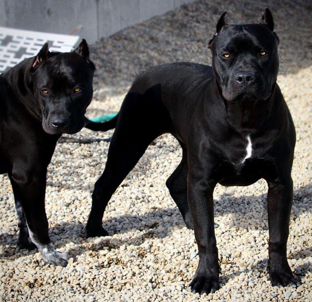 Pin Em Pitbulls Dogs