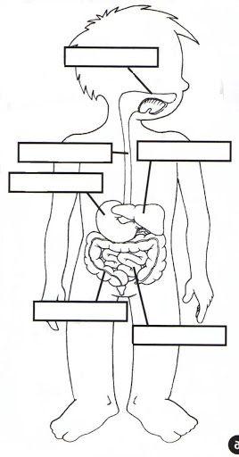 Digestivo Jpg 268 512 Cuerpo Humano Para Ninos El Cuerpo