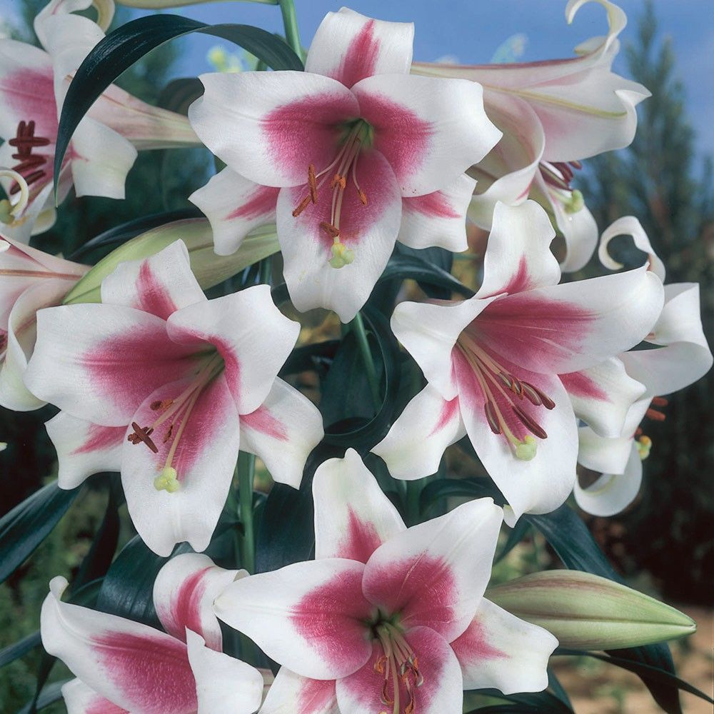 Lily triumphator trumpet lilies lilies bulbs
