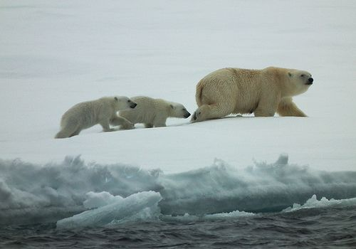 Polar bear mother and cubs I spotted on Greenland sea ice.