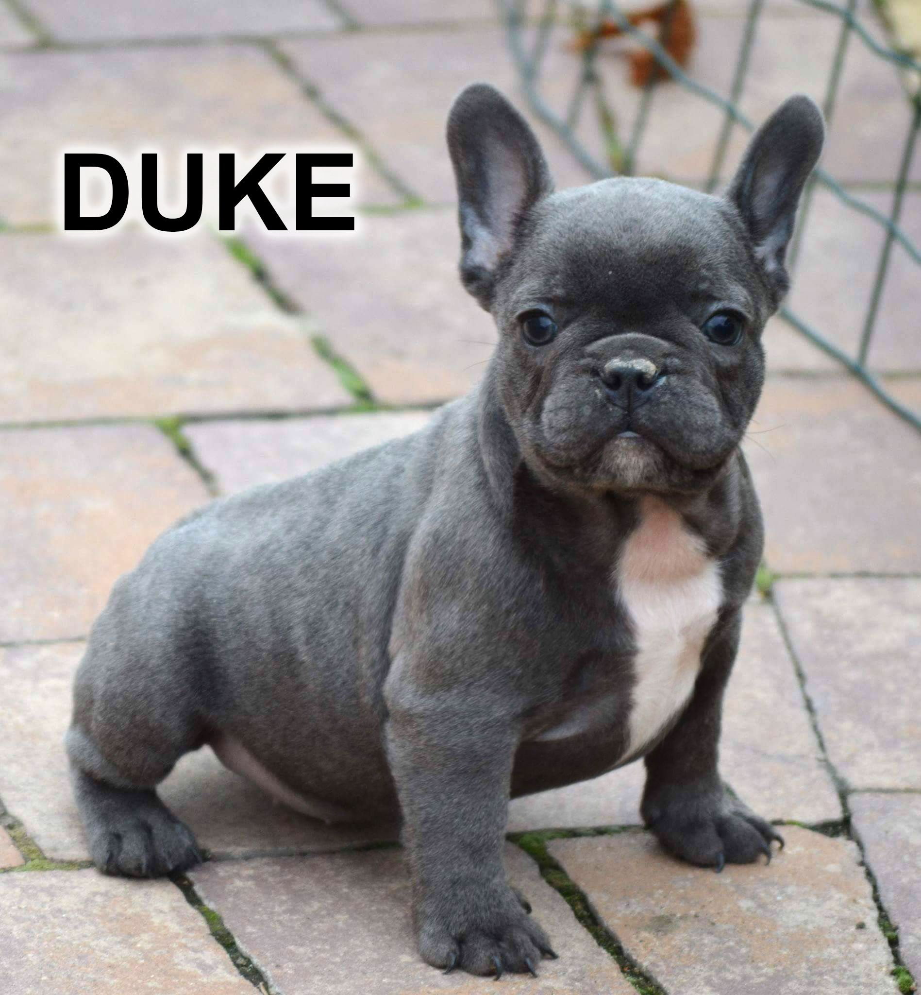 For Sale Duke Mini Solid Blue Boy Serious Inquiries To