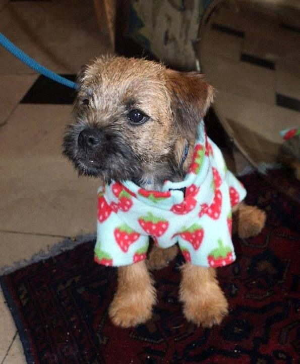 Barney Very Naughty But Very Cute Border Terrier Puppy Border