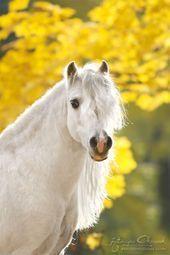 #horseriding #horserider #equine Welsh pony stallion Folkert in autumn surroundings  ... #autumnscenery
