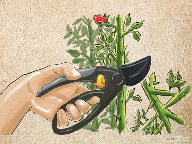 How To Prune Rose Bushes How To Trim Roses Rose Rose Bush