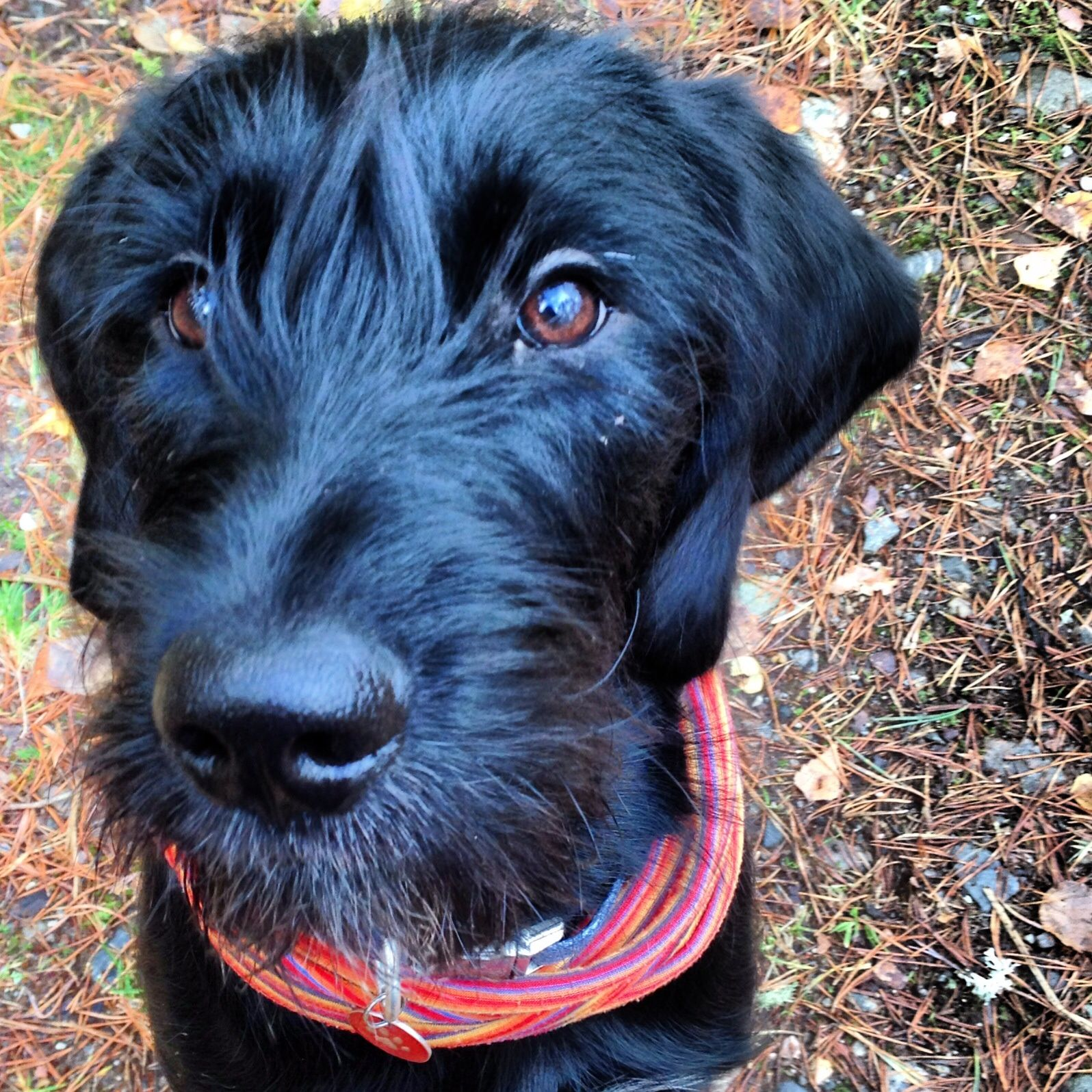 Image of italian spinone brown roan young puppy blue sitting cute - Spinone Cross Retriever Beautiful