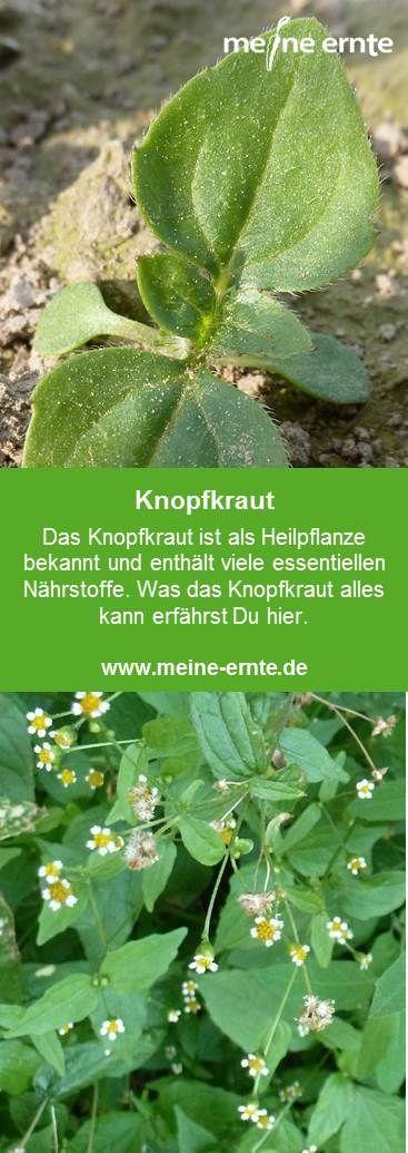 Knopfkraut Eine Alte Heilpflanze Was Es Alles Kann Erfahrst Du Hier Eatclea In 2020 Medicinal Plants Herbal Tea Garden Herbs