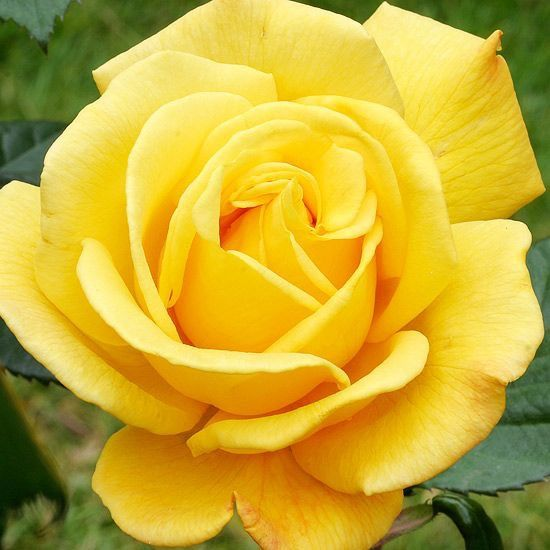 Beautiful Yellow Rose In Flower Language The Yellow Rose Means