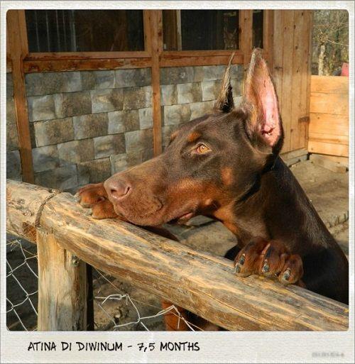 Atina Di Diwinum Doberman Dogs Doberman Dogs