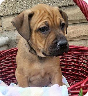 Shepherd Unknown Type Boxer Mix Puppy For Adoption In Detroit Michigan Cuddles Puppy Adoption Boxer Mix Puppies Pets