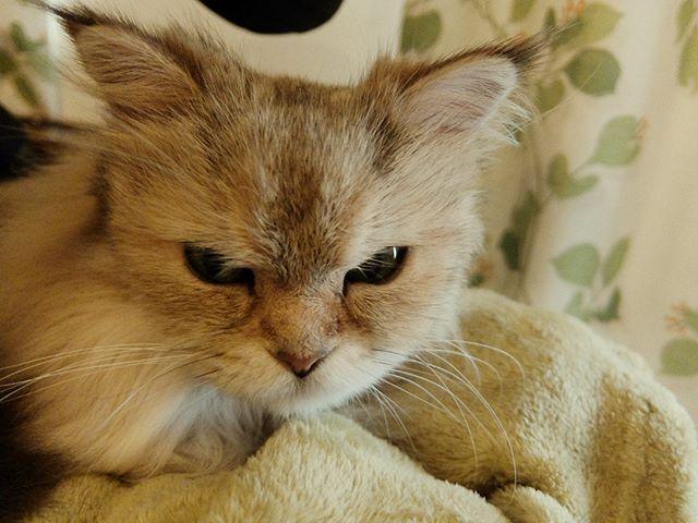膝乗りあずき。椅子の上にて。 #ねこカフェなる #猫カフェなる #長野県長野市 #猫カフェ #naganojapan #catcafe #nekocafenaru #nekocafe #neko #catscafe #catstagram #cats_of_instagram #catstuff #cat #cats #ねこカフェ #ネコカフェ #あずき #チンチラゴールデン