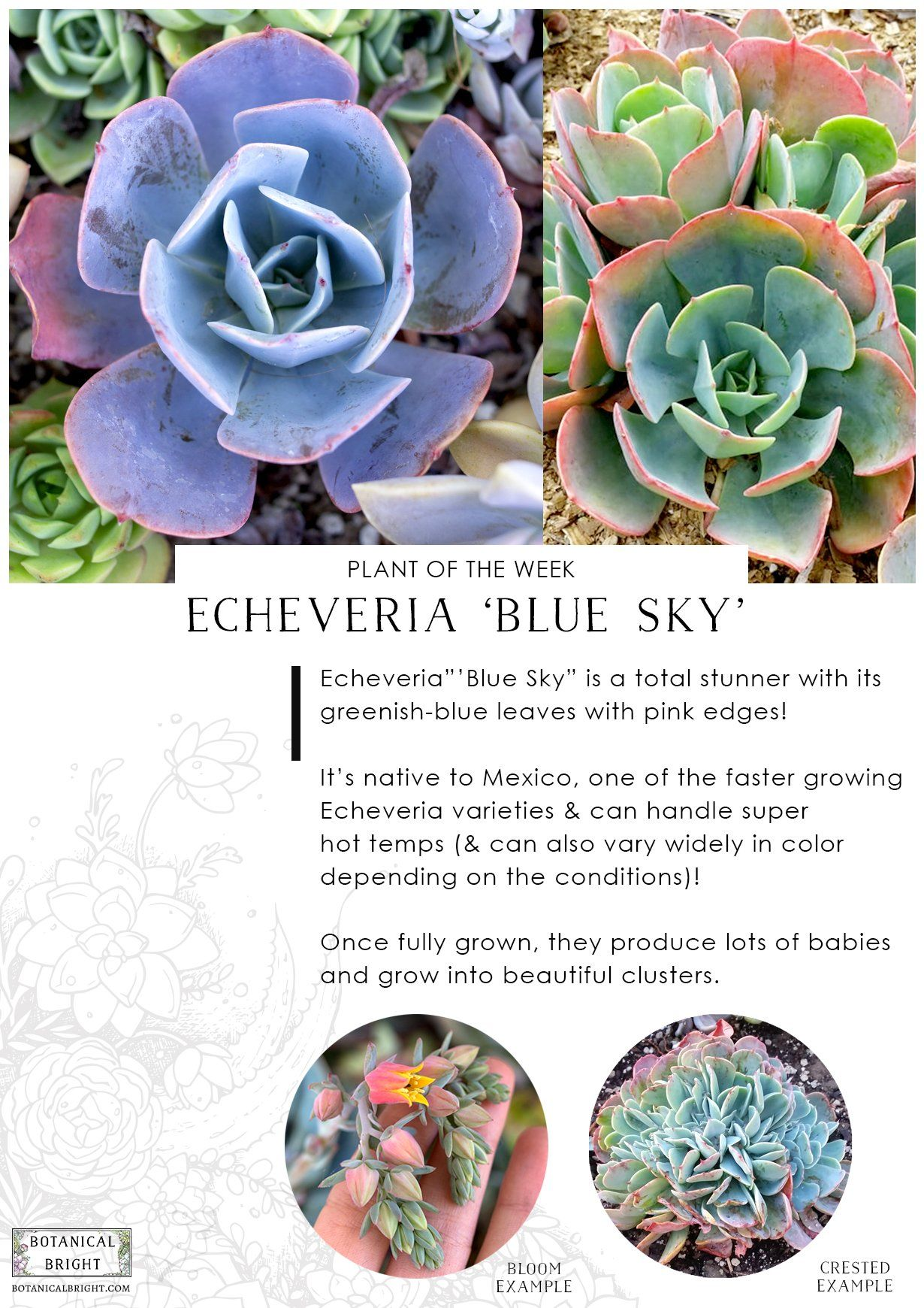 Featured plant echeveria ublue skyu bedroom remodel pinterest