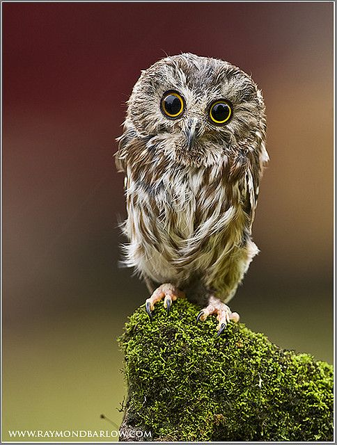 Saw-whet owl | by Raymond Barlow