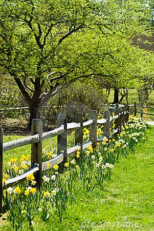 Daffodils Flanking the Fence Row All Along the Fence Row