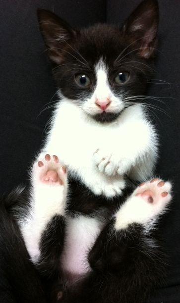 Goofy Gus Is Avail 4 Adoption Cattitude From The Westryde Petbarn Zwart Wit Katten Witte Katjes