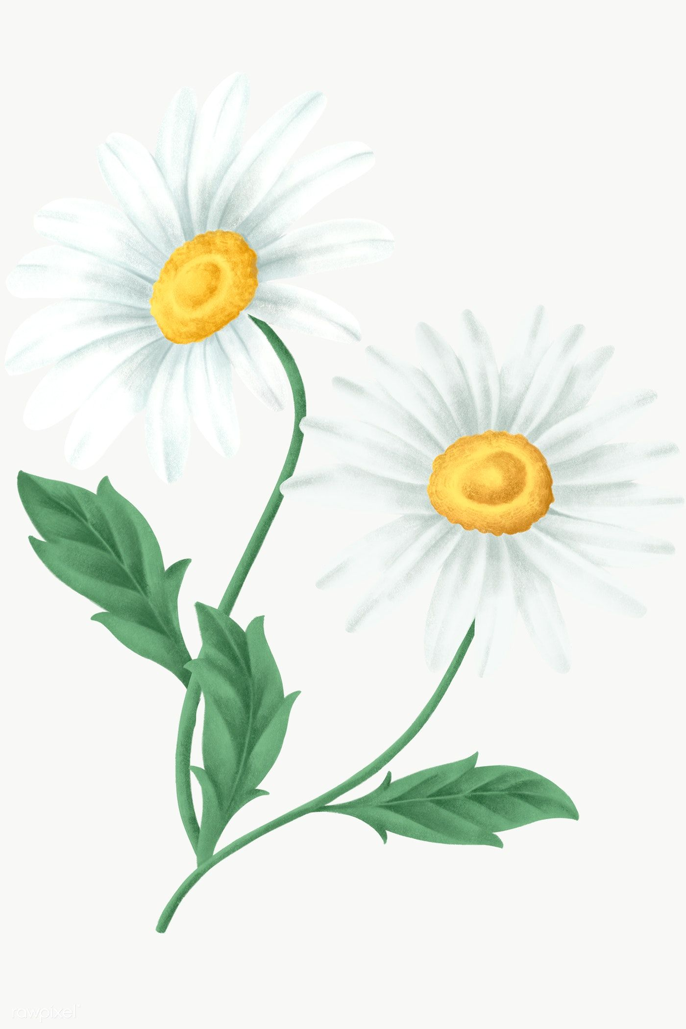 Vintage Daisy Flower Transparent Png Free Image By Rawpixel Com Noon