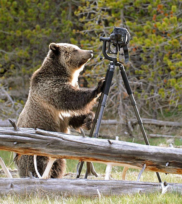 Photo of the Day: Bear vs Camera