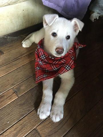 Litter Of 8 German Shepherd Dog Puppies For Sale In Stillwater Mn