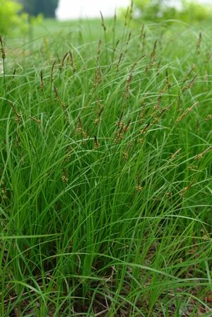 Carex pensylvanica (Oak sedge) - Grass - Zones 4-8, Height 8-10 in - carex bronze reflection