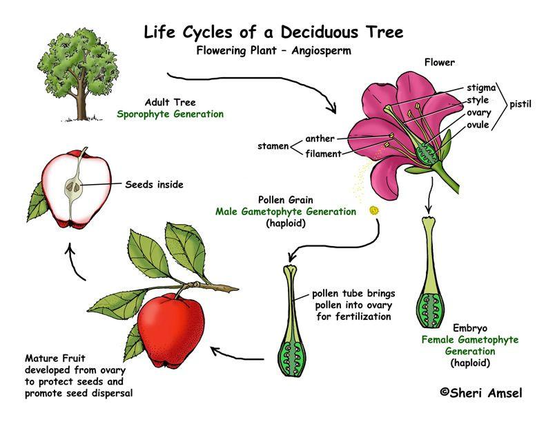 Cycle de la pomme | Cycle des plantes | Pinterest