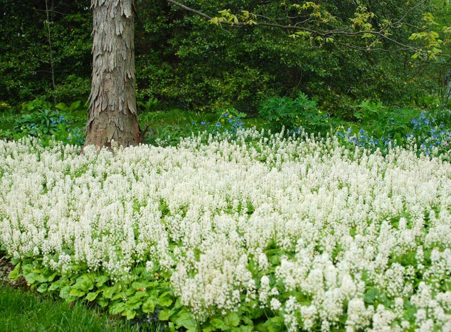 entracing hickory home and garden hickory north carolina. The grooved bark of the Shagbark hickory tree  Carya ovata is a beautiful foil in sea white This an incredible display Tiarella cordifolia