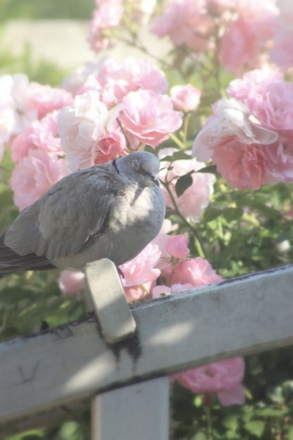 The flowers appear on the earth the time of the singing of birds is the flowers appear on the earth the time of the singing of birds is come song of solomon 212 dove love pinterest solomon bird and gray mightylinksfo Images