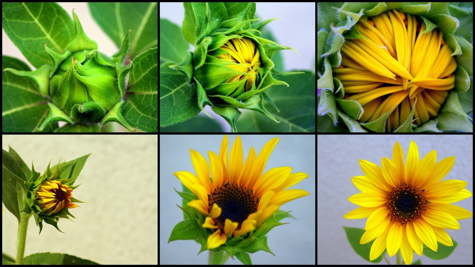 Image Result For Sunflower Blooming Stages With Images