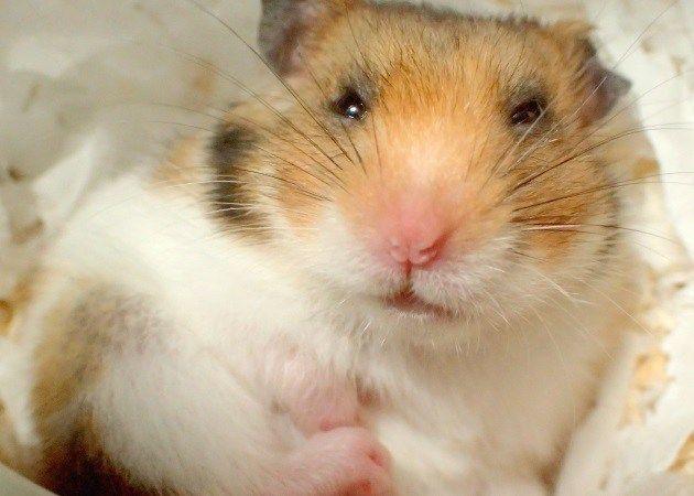 初めてのハムスターを選ぶ前に 知っておきたい違いと特徴をご紹介します 特に飼育のしやすさと懐きやすさに着目し ハムスター かわいいハムスター かわいいネズミ