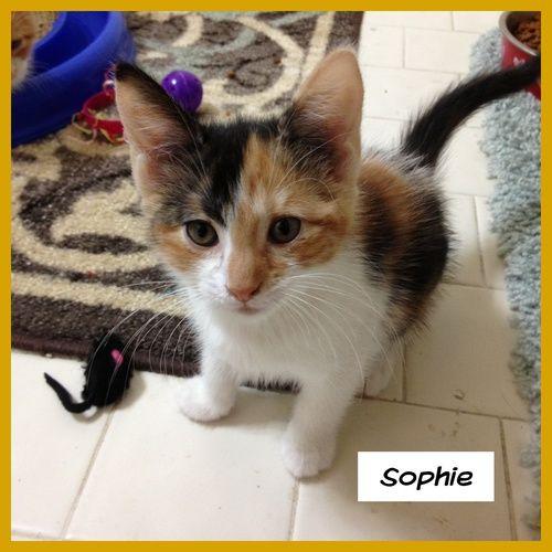 Sophie Calico Cat Miami Fl Calico Calico Cat Pets