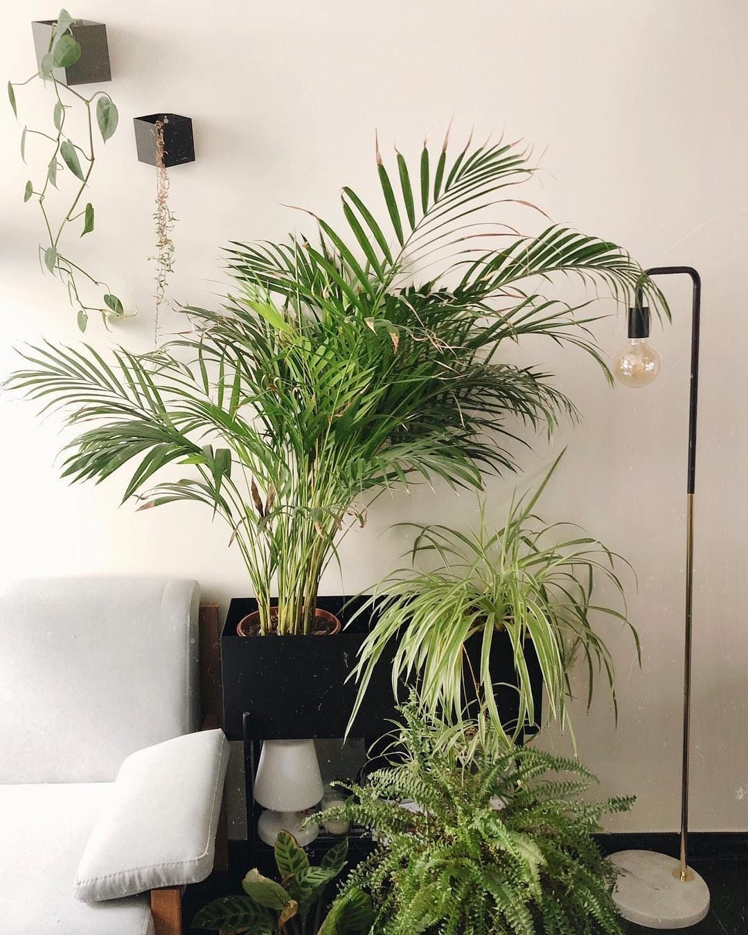 15 Peaceful Asian Living Room Interiors Designed For Comfort: Boston Fern Spider Plant Palm Plants At Home Air Purifying