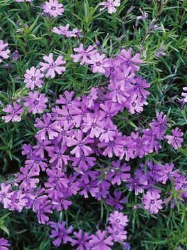 Phlox subulata purple beauty creeping phlox moss pinks bluestone phlox subulata purple beauty creeping phlox moss pinks bluestone perennials these are what jason mightylinksfo Image collections