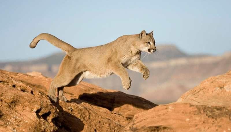 Un hombre sofoca a un puma hasta matarlo en Colorado   Puma, Felino, Felinos