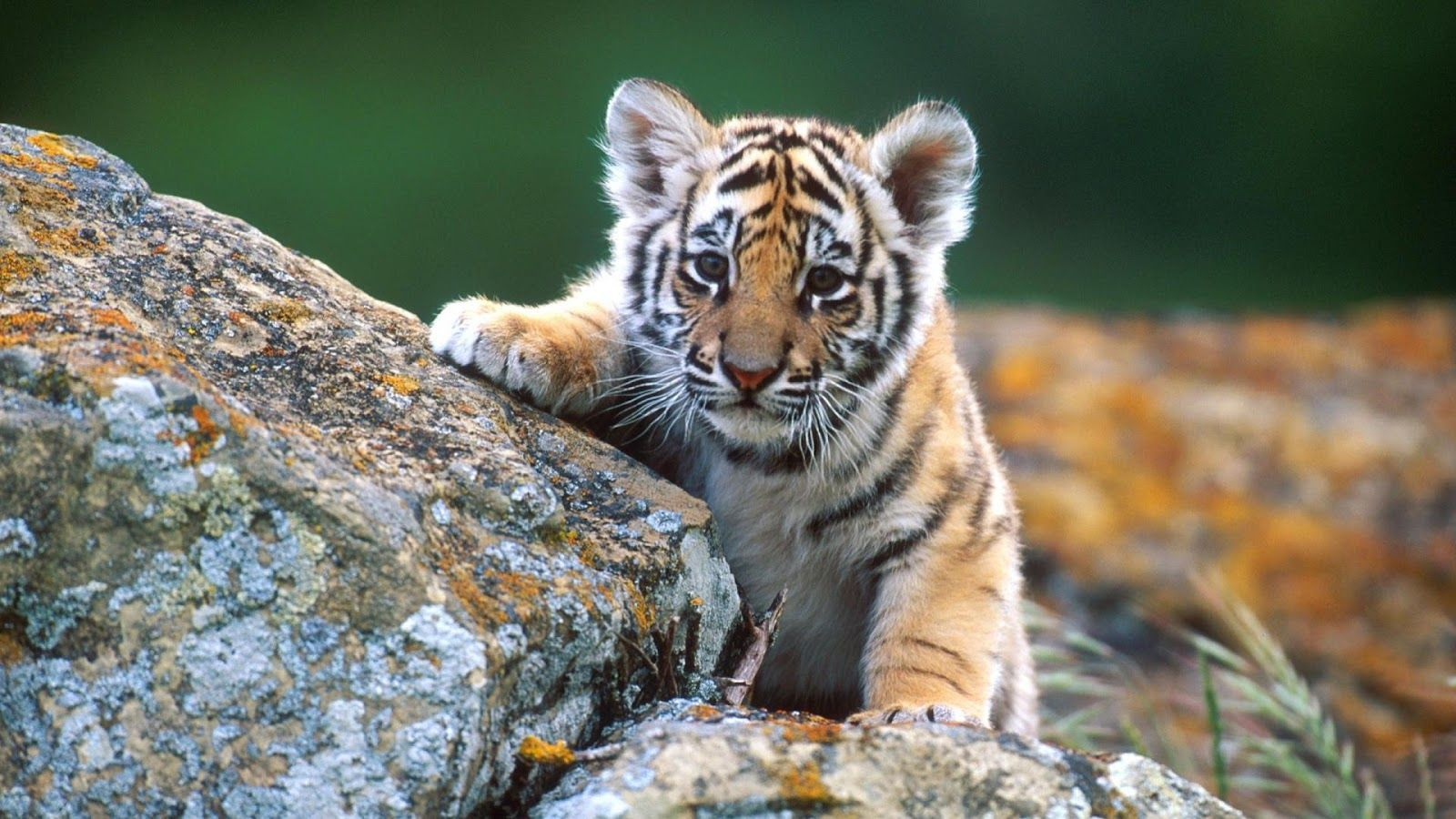 Cute Baby Animal Desktop Wallpapers High Definition Baby Animals Pictures Cute Wild Animals Wild Animal Wallpaper