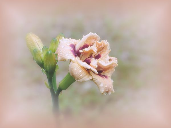 Roswitha daylily flower and buds with natural background ...