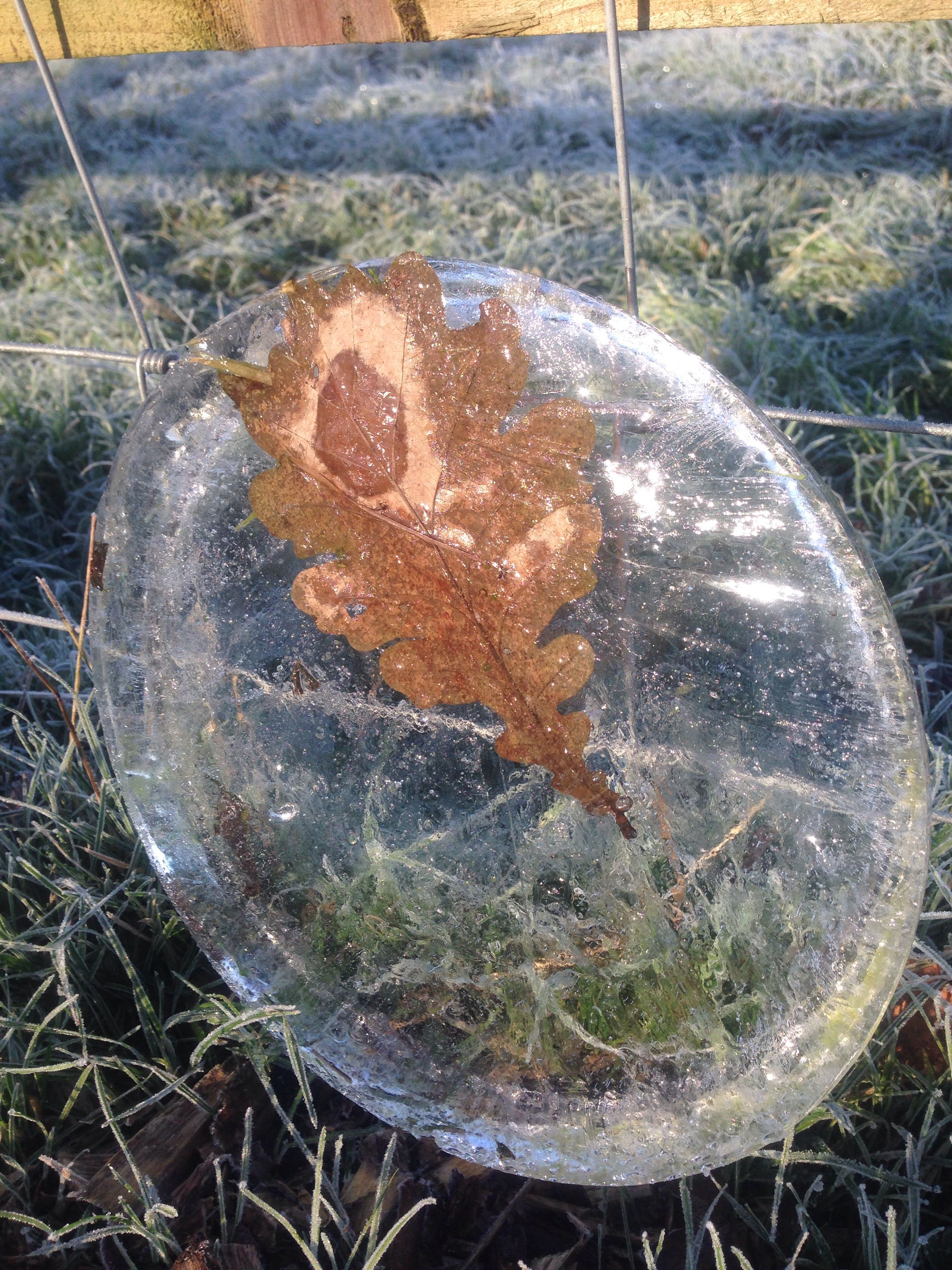 Leaf suspended in ice from the dogs drinking bowl. Dec 6th 2014