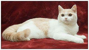 British Shorthair Cat Cream With White Bi Color British Shorthair Cats British Shorthair Cats