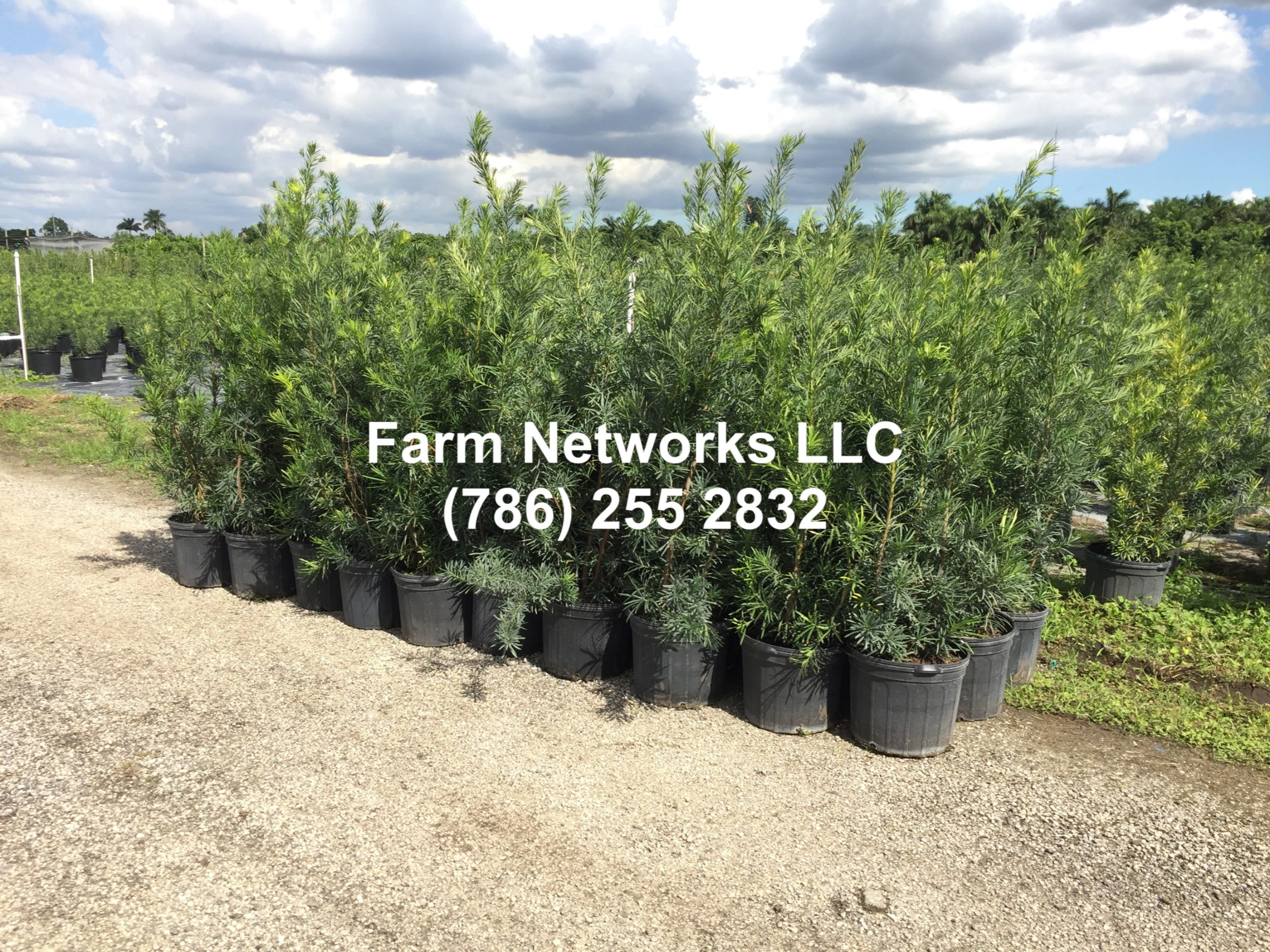 Plant Nursery Fort Myers Green Houses 7 Gallon Podocarpus