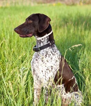 The German Shorthaired Pointer is a versatile hunter, an all-purpose gun dog capable of high performance in field and water. The judgement of Shorthairs in the show ring reflects this basic characteristic. The overall picture which is created in the observer's eye is that of an aristocratic, well balanced, symmetrical animal with conformation indicating power, …