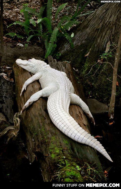 247d2ad28ae7 Albino alligator would make an awesome Hermes bag  )
