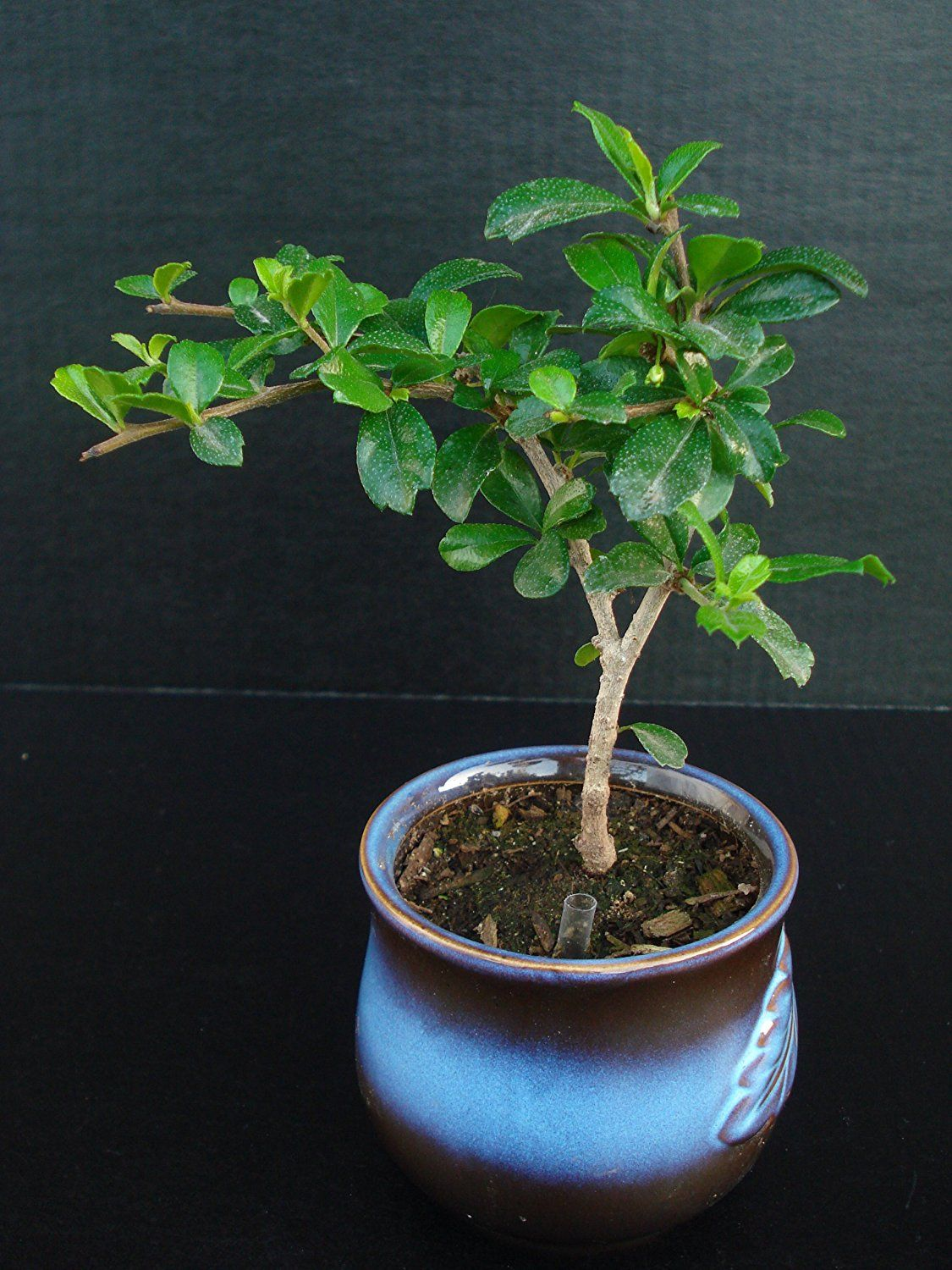 How to bonsai trees for beginners - Best Indoor Bonsai Tree For Beginners