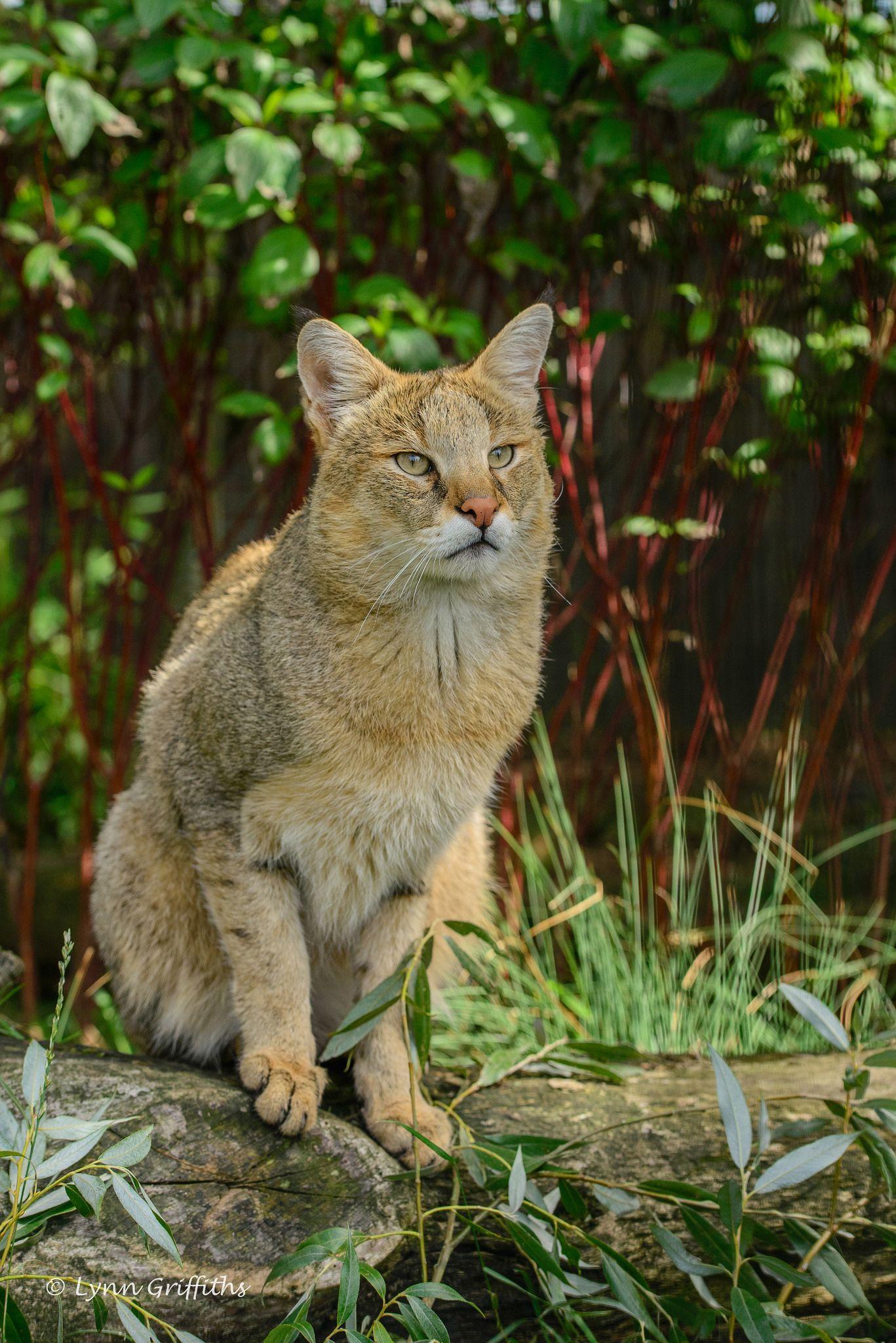 Jungle Cat (Felis Chaus) D61_5145.jpg Wild cat species