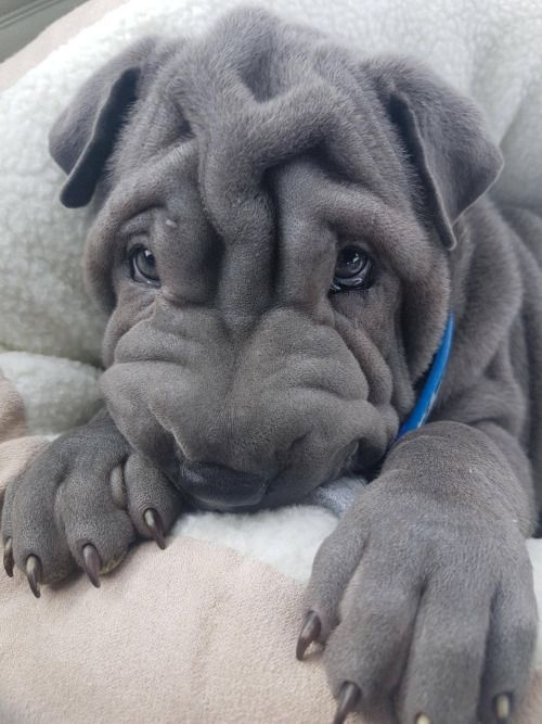 Shar Pei Pup It Will Grow Into Most Of Those Wrinkles Cute