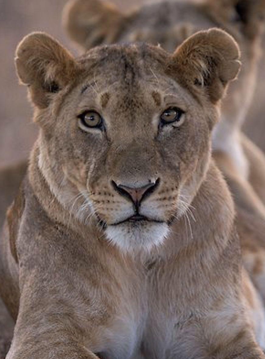 Animal Kingdom Animals Beautiful Lion Photography Animals Wild