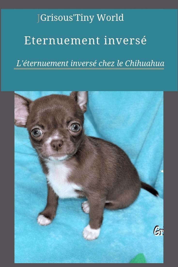 Eternuement inversé – Grisous'Tiny World – Elevage de Chihuahua LOF