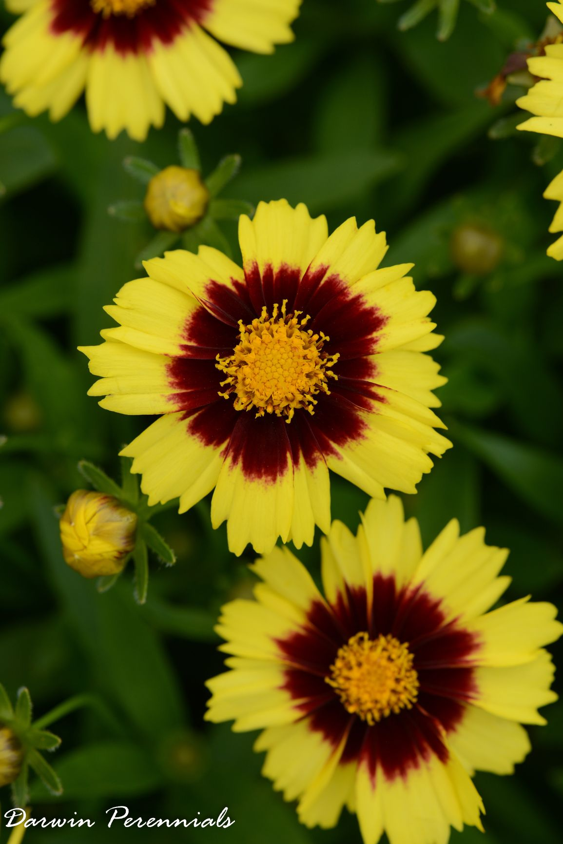 Coreopsis Up Tick Yellow And Red From Darwin Perennials Year Of