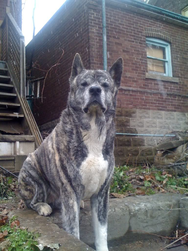 Rare Silver Brindle Akita Dog Lovers Dogs