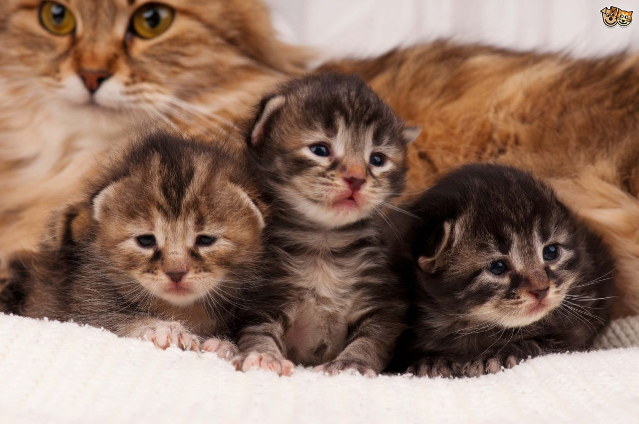 How Old Should Kittens Be Before They Leave Their Mother Kittens Newborn Kittens Siberian Kittens