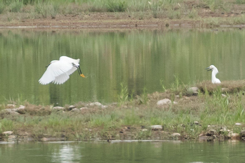 Snowy Egrets ©Neal Zaun Wild Bird pany Saturday Morning Bird